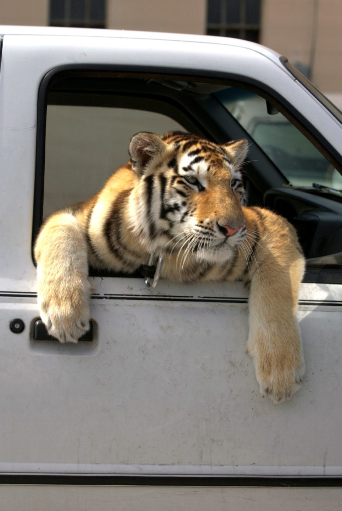 SP 128069 - - DELIVER TO: METRO - - 9/6/2001 - - ST. PETE - - CAPTION INFO: *** -1/1- Nen-Nen, a 14-month-old 200 pound female Siberian Tiger, hangs out of the window of the passenger seat of her truck while waiting for her owner,  Vernon Yates, director of the Wildlife Rescue and Rehabilitation, Inc., Thursday afternoon in St. Petersburg (9/6/01). The organization was founded by Yates in 1980 and is a non-profit shelter for felines. Their doors are open to the injured, orphaned, abused, abandoned, neglected, or confiscated wildlife in need of their attention, according to Yates. (NOTE: The tiger rides in the  passenger seat while Yates drives around. Yates was parked at the Atlantic Auto Repair, 226 16th St. N. in St. Petersburg. He was assisting in the removal of a snake from the exhaust system of an automobile.) - - Times Photo By: Dirk Shadd - - Story By:  - - SCANNED BY: dirk - - RUN DATE: 9/7/2001